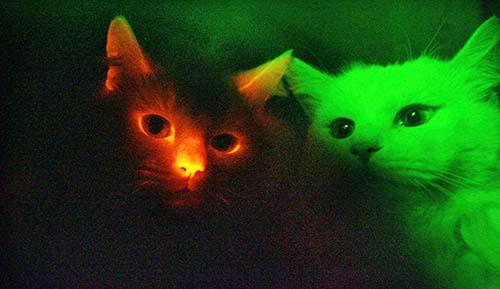 hypoallergenic cat breeds. Ashera GD hypoallergenic cat